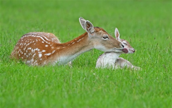 Wallpaper Two deers, mother and baby, grass