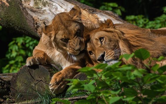 Wallpaper Two lions, rest, bushes