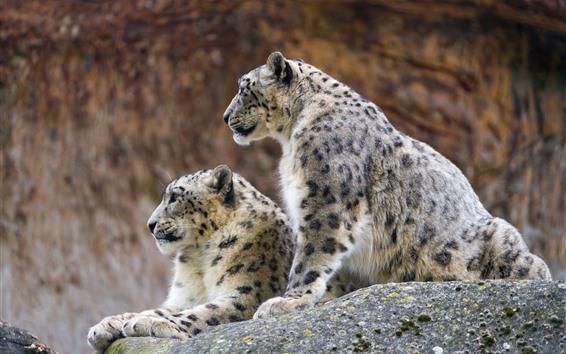 Wallpaper Two snow leopards, rest