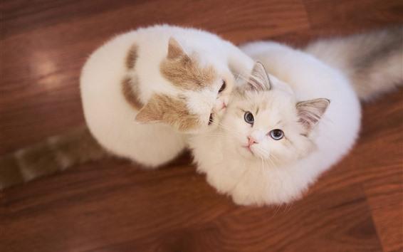 Обои Две белые кошки, домашнее животное, пол