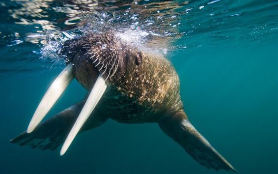 Wallpaper Walrus, tusks, underwater
