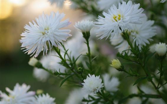 Обои Цветки белых астеров