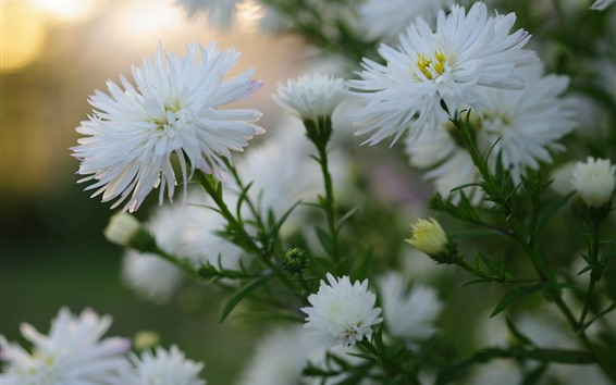 Wallpaper White asters flowers bloom
