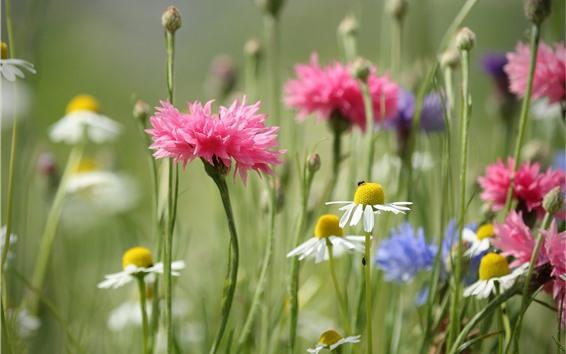 Wallpaper White chamomile and pink cornflowers