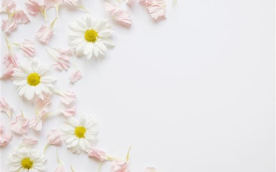 Wallpaper White chamomile, pink petals, decoration, background