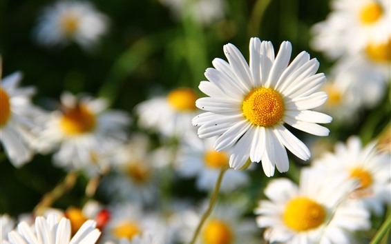 Wallpaper White daisy, petals, spring