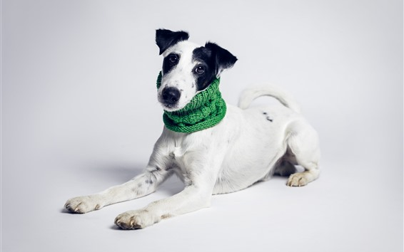 Wallpaper White dog, green scarf