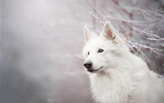 Papéis de Parede Cão branco, olhar, galhos, neve