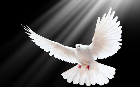 Обои Белый голубь, крылья, черный фон, световые лучи