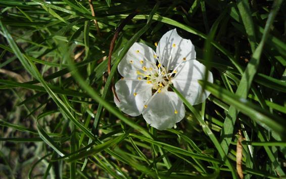 Papéis de Parede Flor branca, pétalas, grama