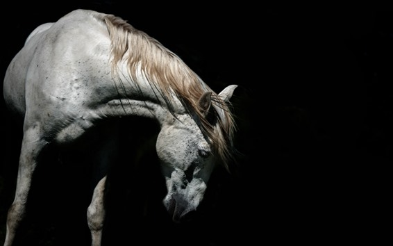 Wallpaper White horse, head, black background