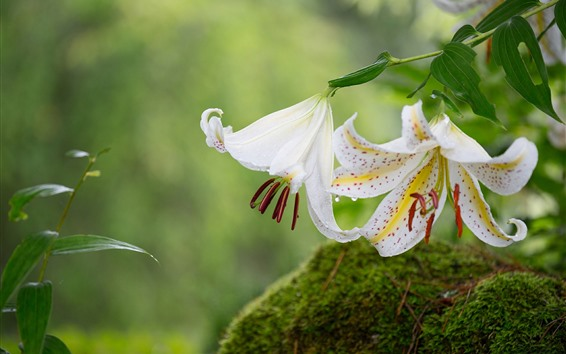 Wallpaper White lily, petals, water droplets, stone, moss