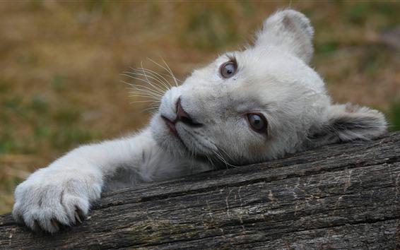 Wallpaper White lion cub, look, paw