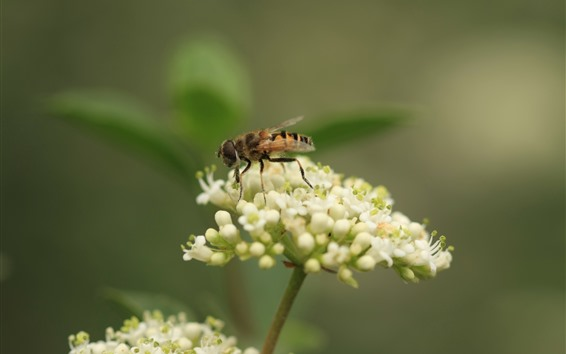 Papéis de Parede Pequenas flores brancas, abelha, embaçada