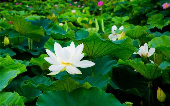 Wallpaper White lotus, green leaves, flowers
