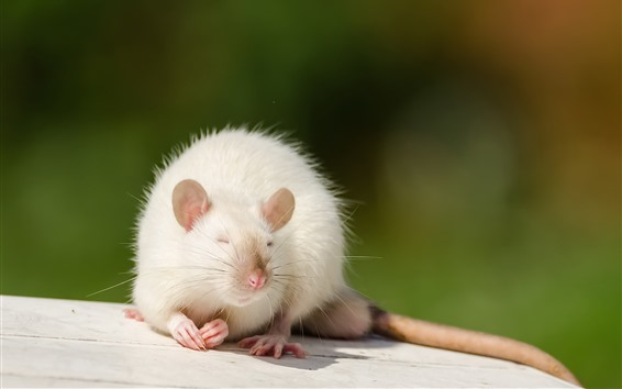 Papéis de Parede Rato branco