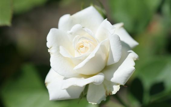 Papéis de Parede Rosa branca close-up, brilhante
