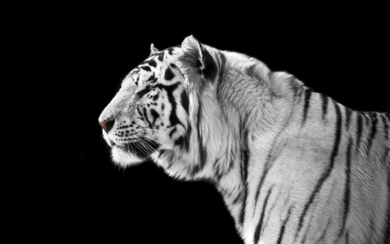 Papéis de Parede Vista lateral de tigre branco, fundo preto