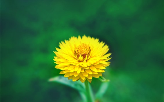 Обои Желтый цветок крупным планом, лепестки, зеленый фон