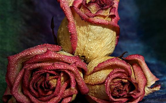 Papéis de Parede Rosas de pétalas rosa amarelas, gotas de água