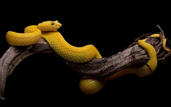 Wallpaper Yellow snake, scales, black background