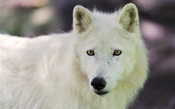 Fond d'écran Loup arctique regarder en arrière