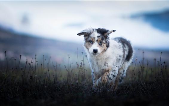 Papéis de Parede Pastor australiano, filhote de cachorro peludo, grama