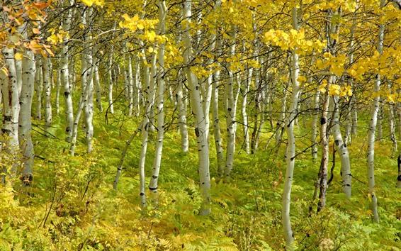 Обои Осень, березовый лес, деревья