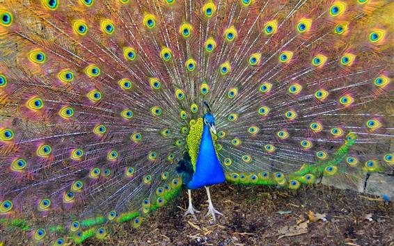 Fond d'écran Bel oiseau, paon, queue, plumes