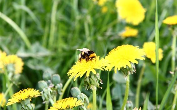 Обои Пчела, желтые цветки одуванчика