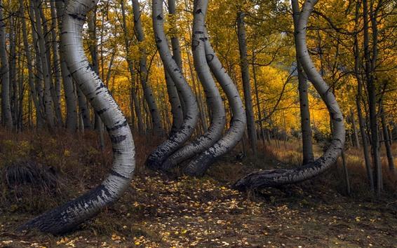 Wallpaper Bend trees, birch, forest, autumn