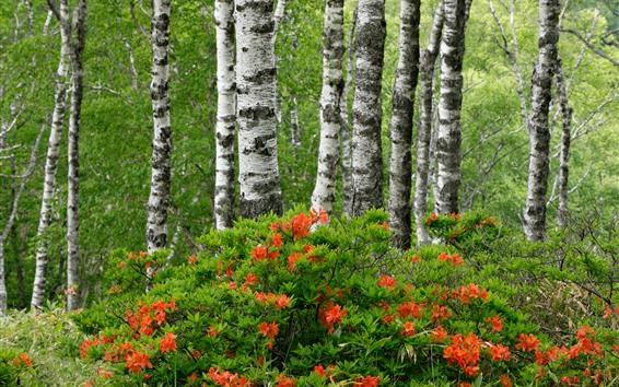 배경 화면 자작 나무, 진달래, 숲