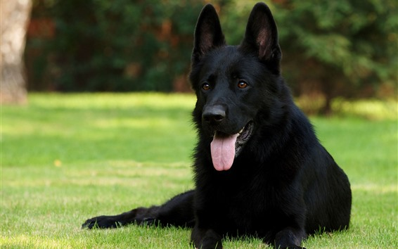 Wallpaper Black German shepherd, rest, grass