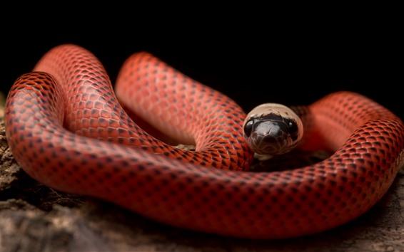 Fondos de pantalla Serpiente de cuello negro, víbora