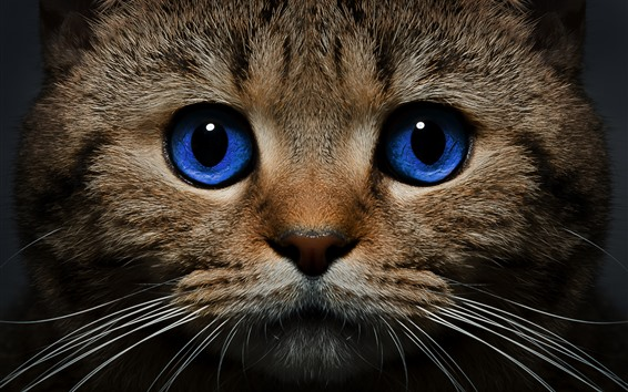 Wallpaper Blue eyes cat front view, face