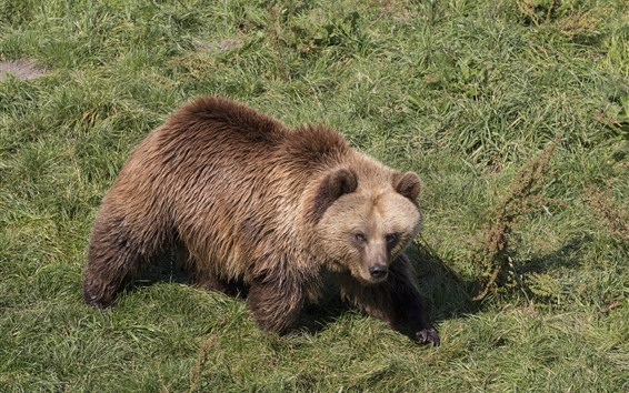 壁紙 茶色のクマ、濡れた、草