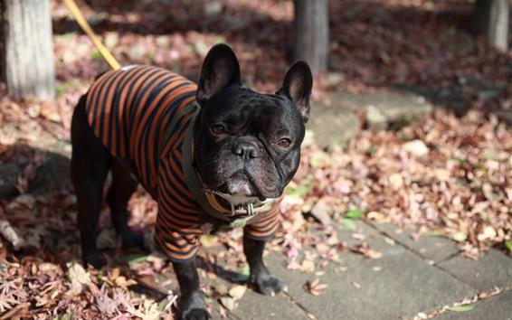 Wallpaper Bulldog, dog clothes, leaves