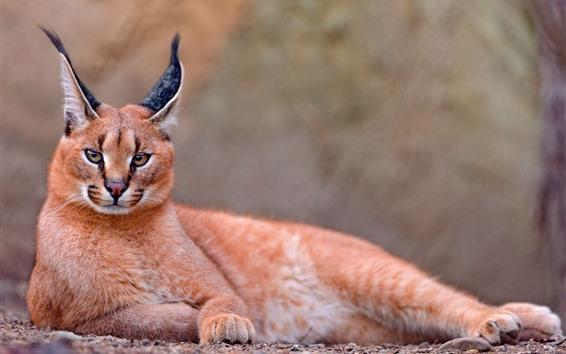 Wallpaper Caracal, ears, wildlife