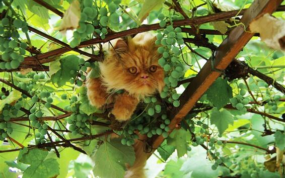 Fondos de pantalla Gato y uvas verdes, hojas.