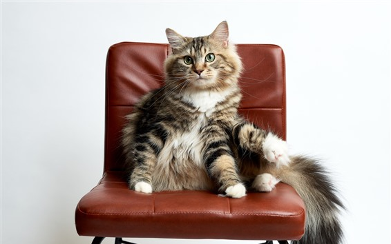 Wallpaper Cat sit on chair, funny animal
