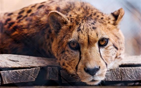 Papéis de Parede Cheetah, cara, vista frontal, animais selvagens