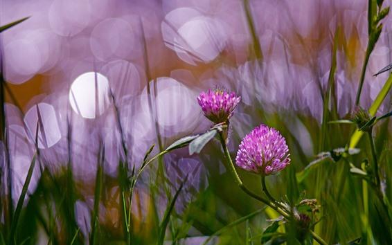 Wallpaper Clover pink flowers, hazy