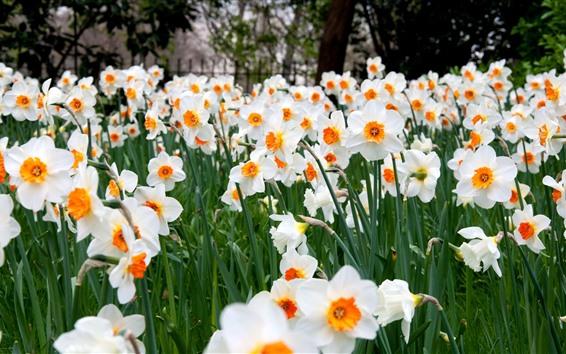 Fond d'écran Champs de jonquilles, fleurs blanches