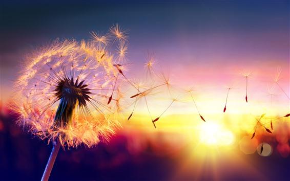 배경 화면 민들레, 씨앗, 바람, 일몰, 아름 다운 자연 경관