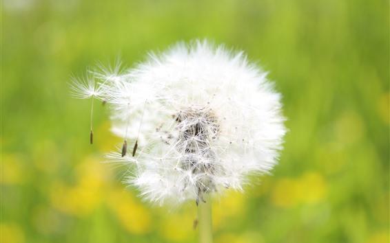 Wallpaper Dandelion, white flower close-up, seeds, wind