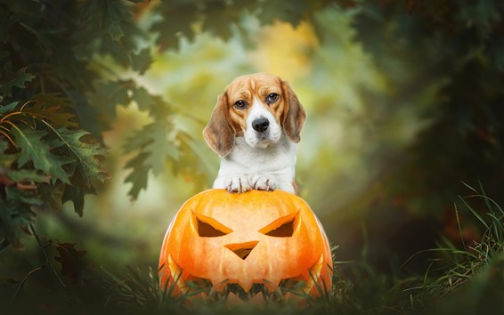 Fond d'écran Lanterne de chien et citrouille, Halloween