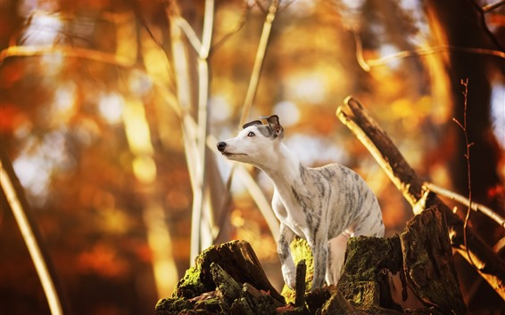Wallpaper Dog, look, stump, forest
