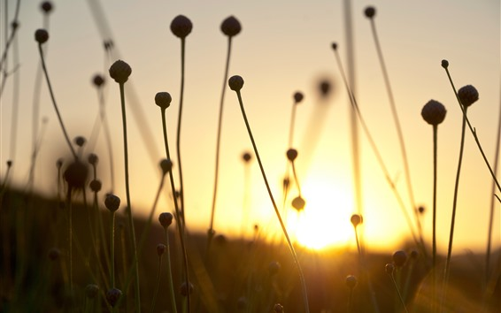 Fondos de pantalla Pasto seco, tallo, puesta de sol