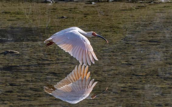 壁紙 白鷺飛行、湖、水の反射