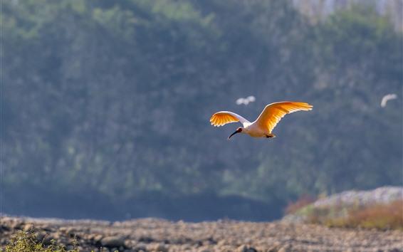 壁紙 白鷺飛行、翼